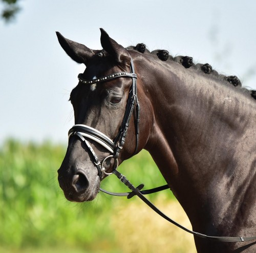 1a4608788bfa3 Ogłowie BUSSE Comfort Horse-Trade | Sklep jeździecki
